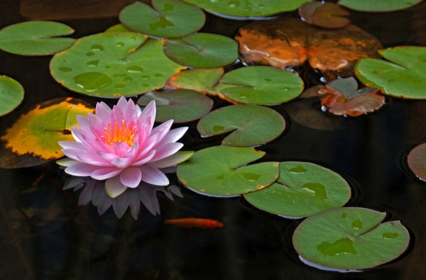 6897057-lotus-flower-pictures